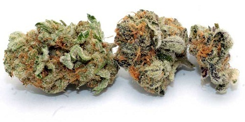 White Queen Marijuana Strain Review Information and Growing Tips - Where to Buy White Queen Seeds