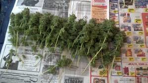 harvest_better_marijuana_yeild