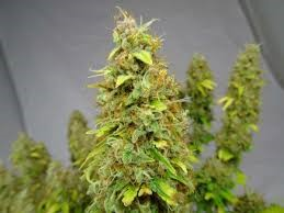 right_time_to_harvest_marijuana_plants