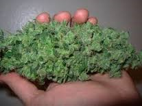 why_is_it_important_to_harvest_marijuana_the_right_time